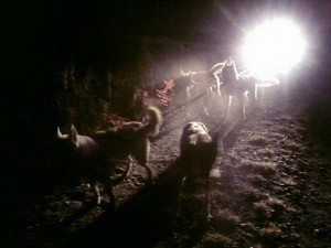 dogs in night