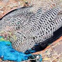 Peacock Dead