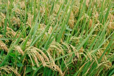 Rice Cultivation