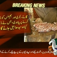 Cow Goat Buffalo Slaughtered Ban– Breaking News – Geo