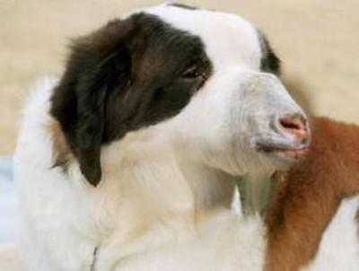 Dog Goat