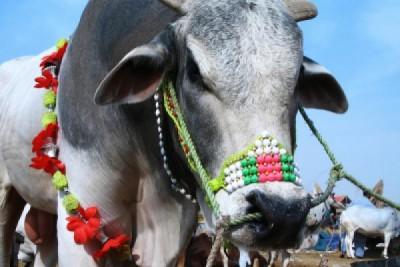 Eid ul Adha Cows Sacrifice
