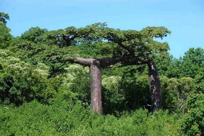 Adansonia