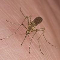 Mosquitoe
