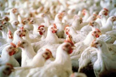 Poultry Meat