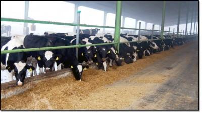 Pakistan dairy farming