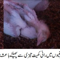 Badin Poultry