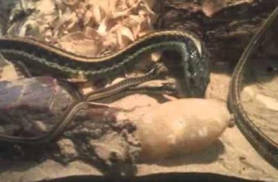 Snake Eats Children