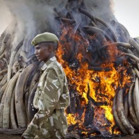 Elephant Ivory Burning