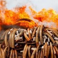 KEnya Elephants Teeth Fire
