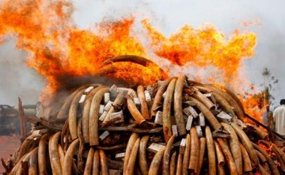 KEnya Elephants Teeth Fire