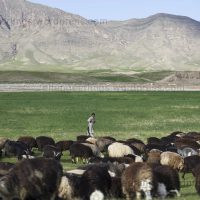 Livestock in Afghanistan