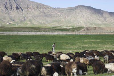 Livestock in Afghanistan