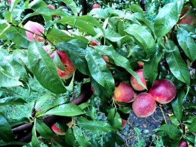 Peaches in Swat