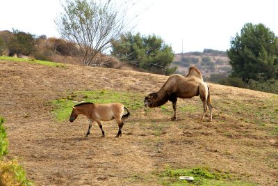 Safari Park, Camel, Horse