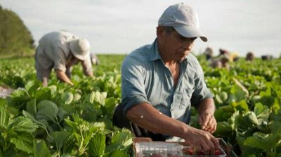 Tobacco Agricultural