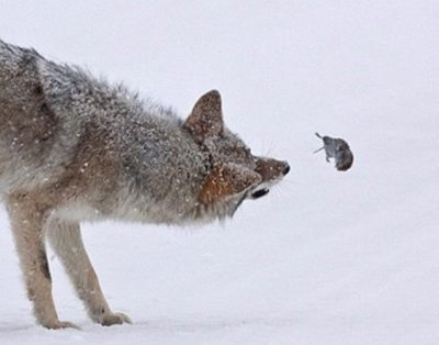 Wolf and Mice