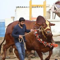 Eid Cow