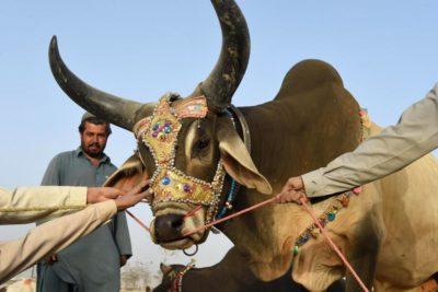 Sacrifice Cow