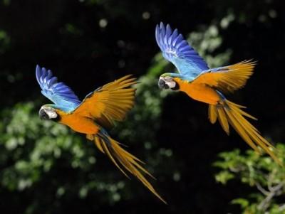 Parrots Flying