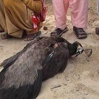 Tharparkar Peacock Death