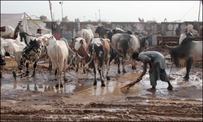 Karachi Cattle Market