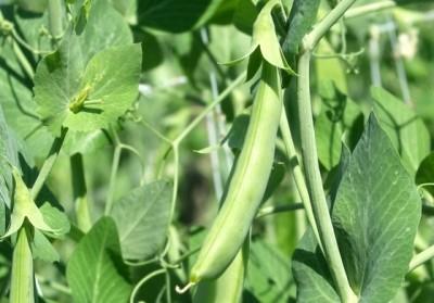 Peas Production