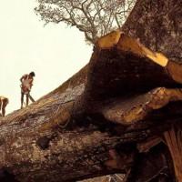 24 men were cutting wood