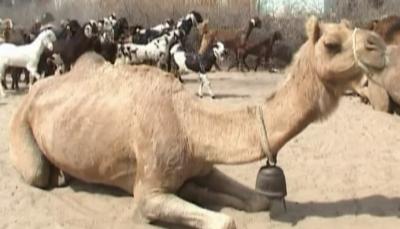 Badin Camel Desies