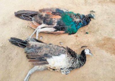 Peahen Death