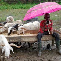 Boy Sales Goat
