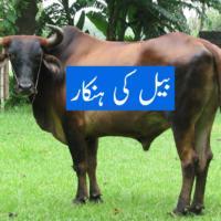 Bullock Bull
