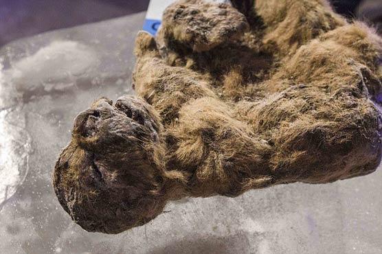 روس : غار سے تیس ہزار سال قدیم شیر کے بچوں کی لاشیں مل گئیں