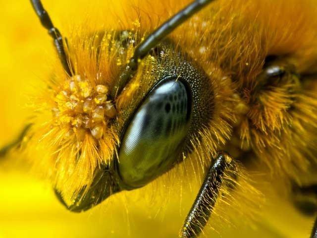 شہد کی مکھیوں کی نظر انسانی سوچ سے کئی گنا زیادہ تیز ہوتی ہے