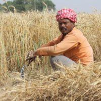 Farmers - Wheat