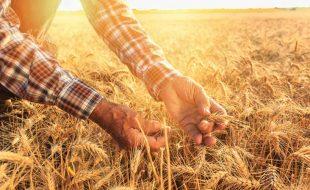 گندم فصل پکنے پر کسان کی خوشی